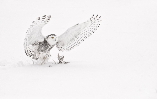 Snowy Owl by Kevin Pepper