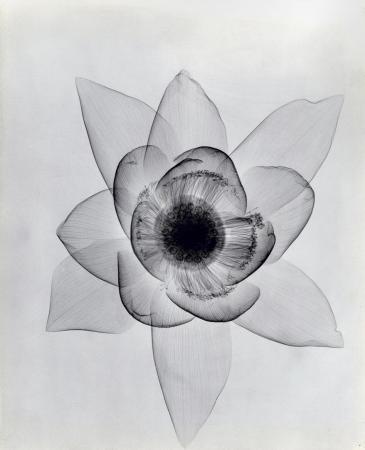 """Lotus,"" ca. 1930, vintage gelatin silver print, 11 1/4 x 9 1/4 inches."