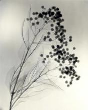 """California Holly,"" 1937, vintage gelatin silver print, 11 3/8 x 9 1/8 inches"