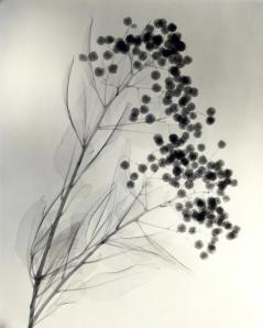 """California Holly,"" 1937, vintage gelatin silver print, 11 3/8 x 9 1/8 inches"