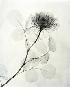 """A Rose,"" 1936, vintage gelatin silver print, 11 1/4 x 9 1/8 inches"