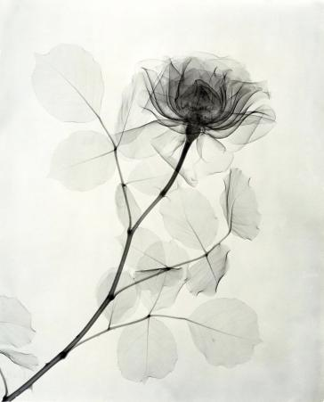"""""""A Rose,"""" 1936, vintage gelatin silver print, 11 1/4 x 9 1/8 inches"""