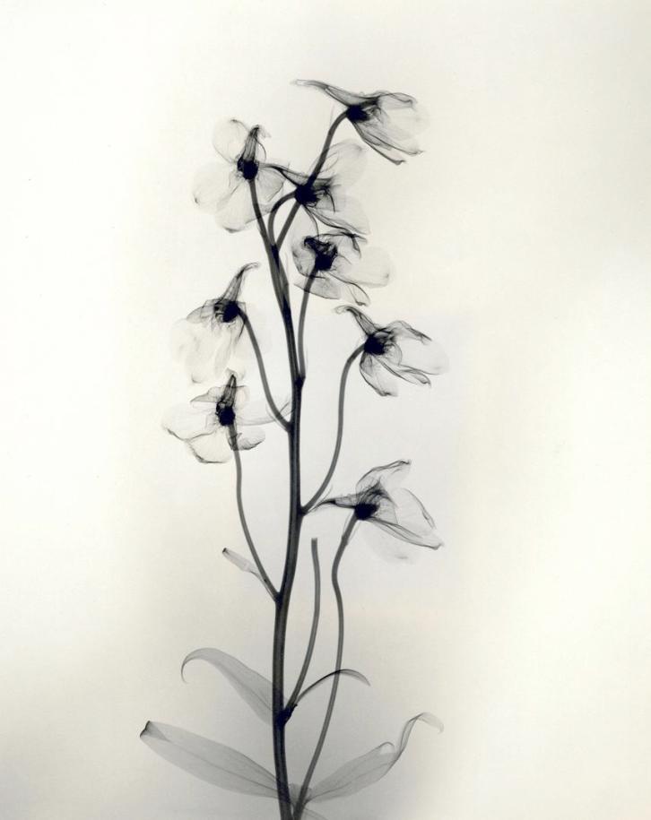 """Delphinium,"" 1938, vintage gelatin silver print, 11 1/4 x 9 1/8 inches"
