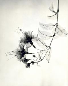 """Fuchsia,"" 1938, vintage gelatin silver print, 9 1/2 x 7 1/4 inches"