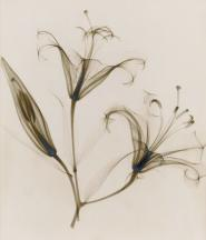 """""""untitled, (lily),"""" 1932, vintage gelatin silver print, 11 1/4 x 9 inches"""