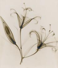 """untitled, (lily),"" 1932, vintage gelatin silver print, 11 1/4 x 9 inches"